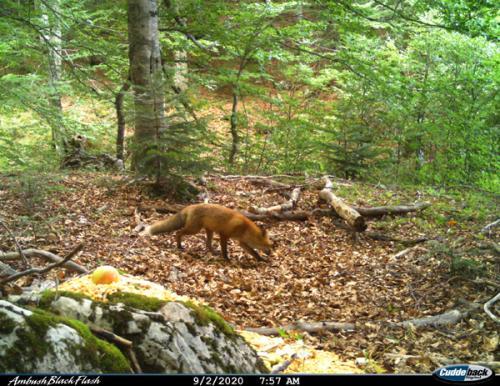 Red fox (Vulpes vulpes)_National park Durmitor