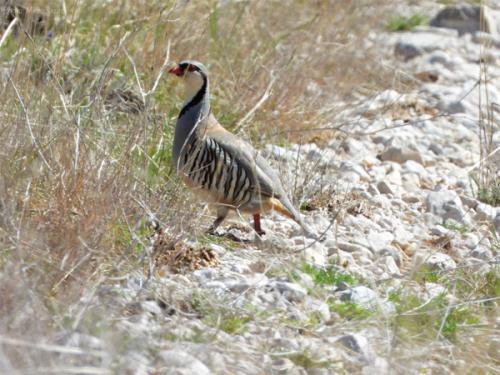Rock partridge (Alectoris graeca)_Nature park Blidinje