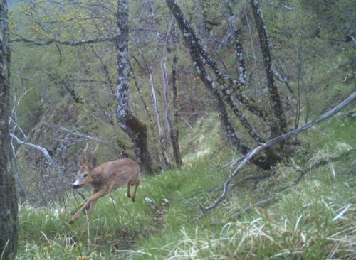 Roe deer (Capreolus capreolus)_National park Durmitor (2)