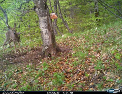 Roe deer (Capreolus capreolus)_National park Durmitor (3)