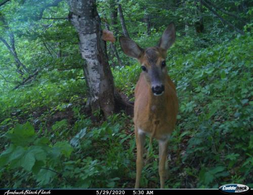 Roe deer (Capreolus capreolus)_National park Durmitor (5)