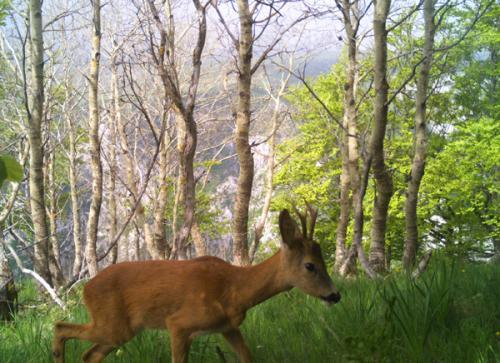 Roe deer (Capreolus capreolus)_National park Durmitor