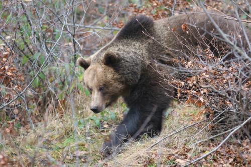 Smeđi medvjed_ Photo-Tomaz Mihelic-ink