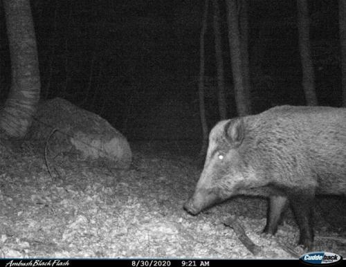 Wild boar (Sus scofa)_Nature park Piva (2)