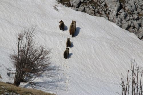 Brow bear (Ursus arctos)_Nature park Blidinje