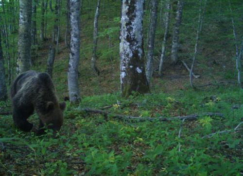 Brown bear (Ursus arctos)_National park Durmitor