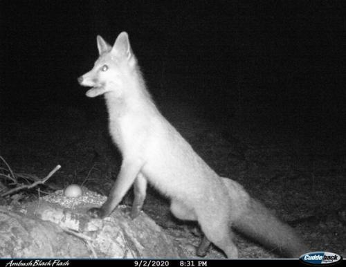 Red fox (Vulpes vulpes)_National park Durmitor (2)