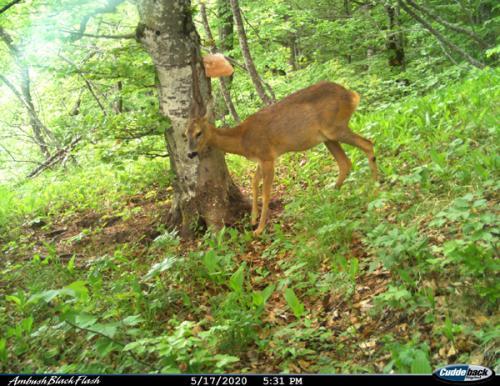 Roe deer (Capreolus capreolus)_National park Durmitor (4)
